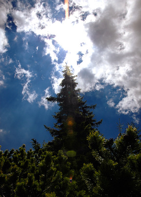 Spruce in Backlight